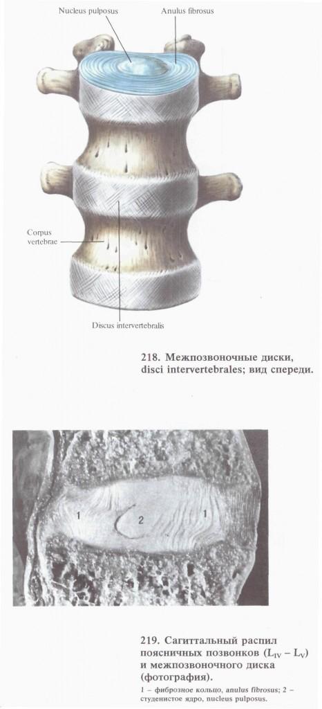 04 межпозвонковые диски-1